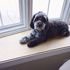 Name: Rocky; <br /> Breed: Cockapoo; <br /> Origin of name: Named after Rocky Road ice cream because that is what he looked like as a puppy<br /> (Submitted photo)