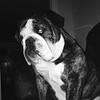 Name: Bane; <br /> Breed: English bulldog; <br /> Origin of name: After the Batman movies<br /> (Submitted photo)