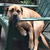Name: Pedro; <br /> Breed: Bullmastiff; <br /> Origin of name: After Red Sox pitcher Pedro Martinez<br /> (Submitted photo)