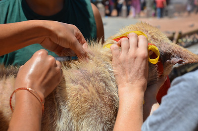 Free rabies vaccination done at the Stupa