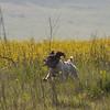 Arrowhead trial - Mynx (Boettcher) in puppy stake