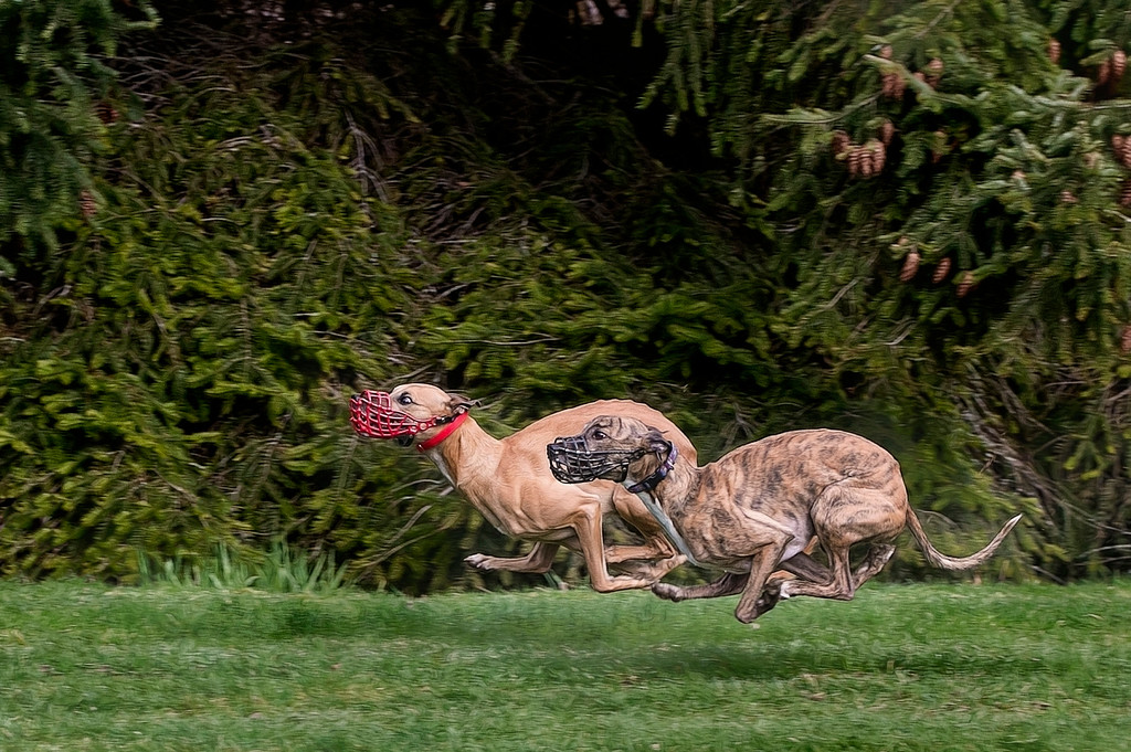 Peru and Zeke - half Brothers race against each other