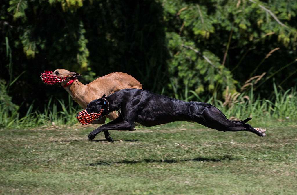 Peru (Red Whippet) and Gator (Black Whippet)
