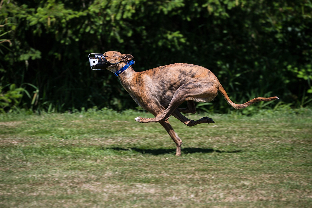 Riot was a 9 month old Greyhound when this shot was taken on July 20th, 2016