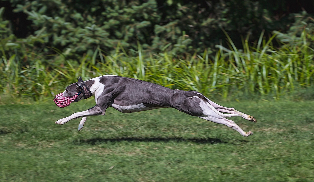 Leggo, a Female Whippet during a lure chasing practice.
