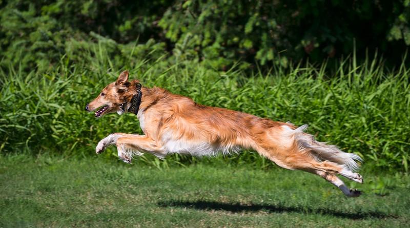 Raygar, a young Male Silkenhound
