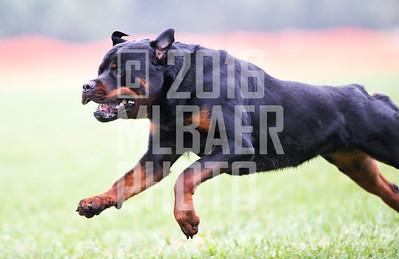 rottweiler-kenda