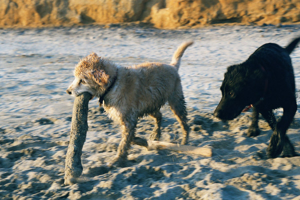 Fuzz and Maximus - Max's first trip to the beach!<br /> Half Moon Bay, CA