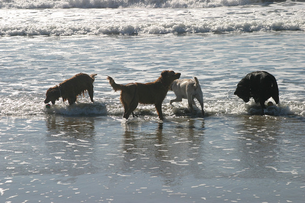 Millie, Maximus, Lucky and friend<br /> Half Moon Bay, CA