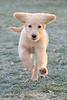 Bella in mid-run