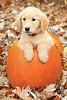 Bella in pumpkin