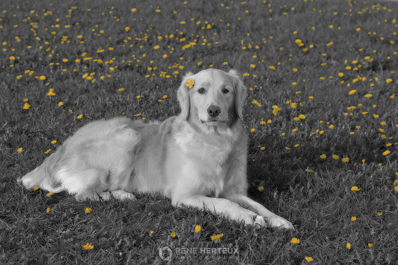 Bella in dandelions