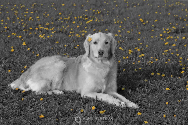 Bella in dandelions