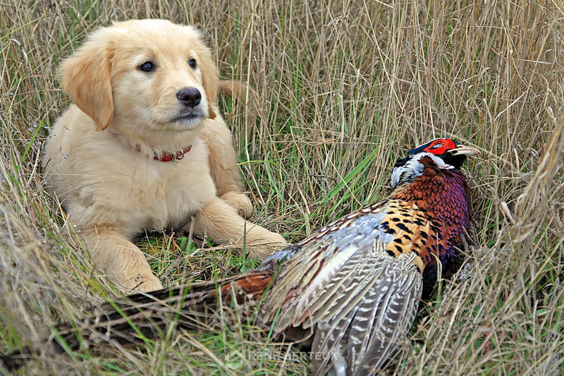 Bella and pheasant