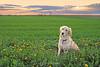 Bella in sunset