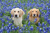 Piper and Bella in bluebonnets