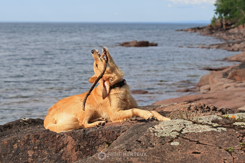 Bella chewing on stick on the shore of Lake Superior