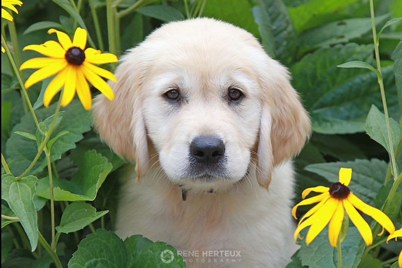 Piper in black eyed susans