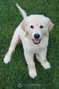 Piper puppy