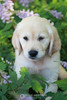 Piper puppy in flowers