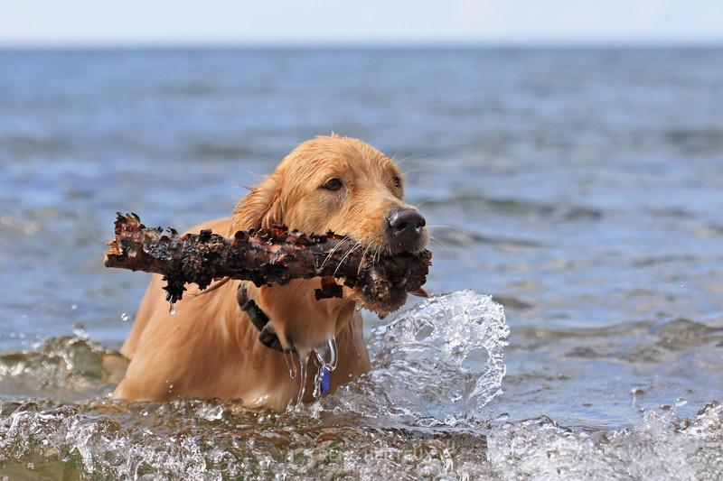 Bella retrieving stick