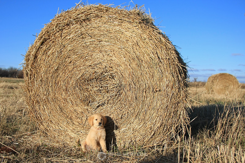 Bella in front of hay bale