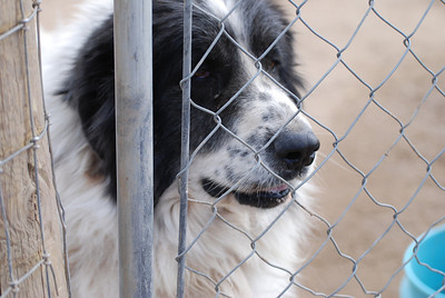 A Great Pyrenees and Newfoundland Mix - a beauty