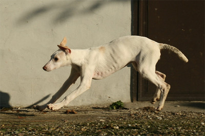 Giulia Chart Polski Puppy Jumping