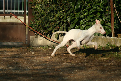 Giulia Chart Polski Puppy Running