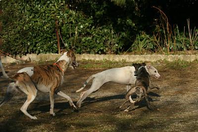 Giulia Chart Polski Puppy & Whippets Playing