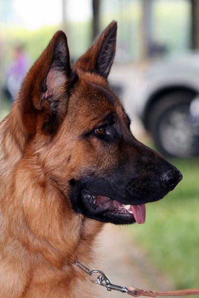 German Shepherd - Pastore Tedesco
