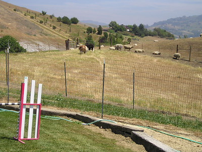 Closer image of llamas (brown and black, left of center) and sheep.  Sometimes the llamas come right up to the fence and take notes on the class. This excites the Goldens no end.