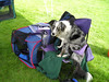 blue merle border collie boost on purple folding chair