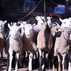 2009-10 Lambs