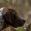 Chubby - Dale Creek Gundogs