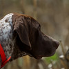 Chubby - Dale Creek Gundogs