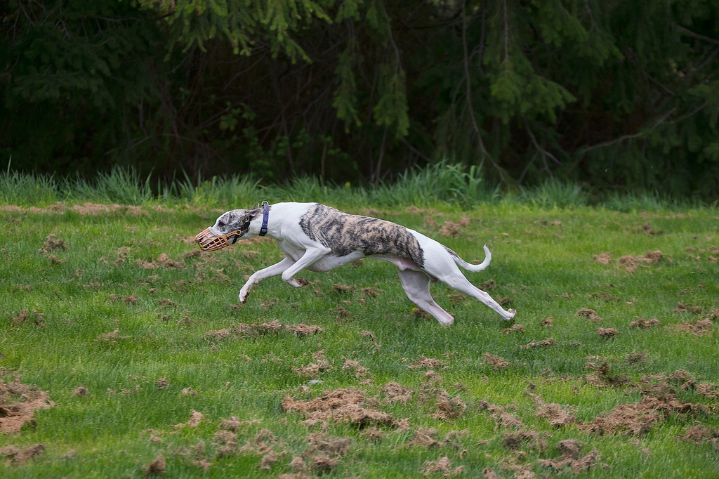This is River, a young Male Whippet shown in a one toe stand as he prepares to drop to his front feet. and pull the back legs under his body for the next sprint. This is an untouched shot, as you can see there is a lot of clipped grass that I opted to leave it in as part of scene.