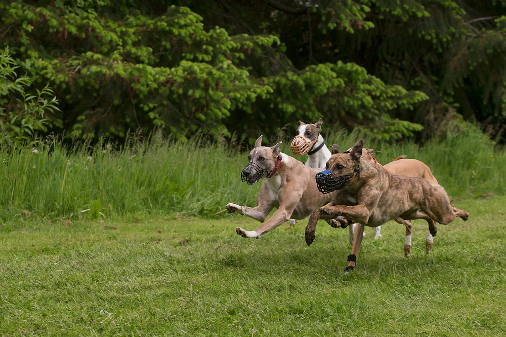 4 Dog Race, Sharp (blue strip on muzzle), Griffin (Red collar), Wem (Orange muzzle) Ginger (partially hidden at the back)