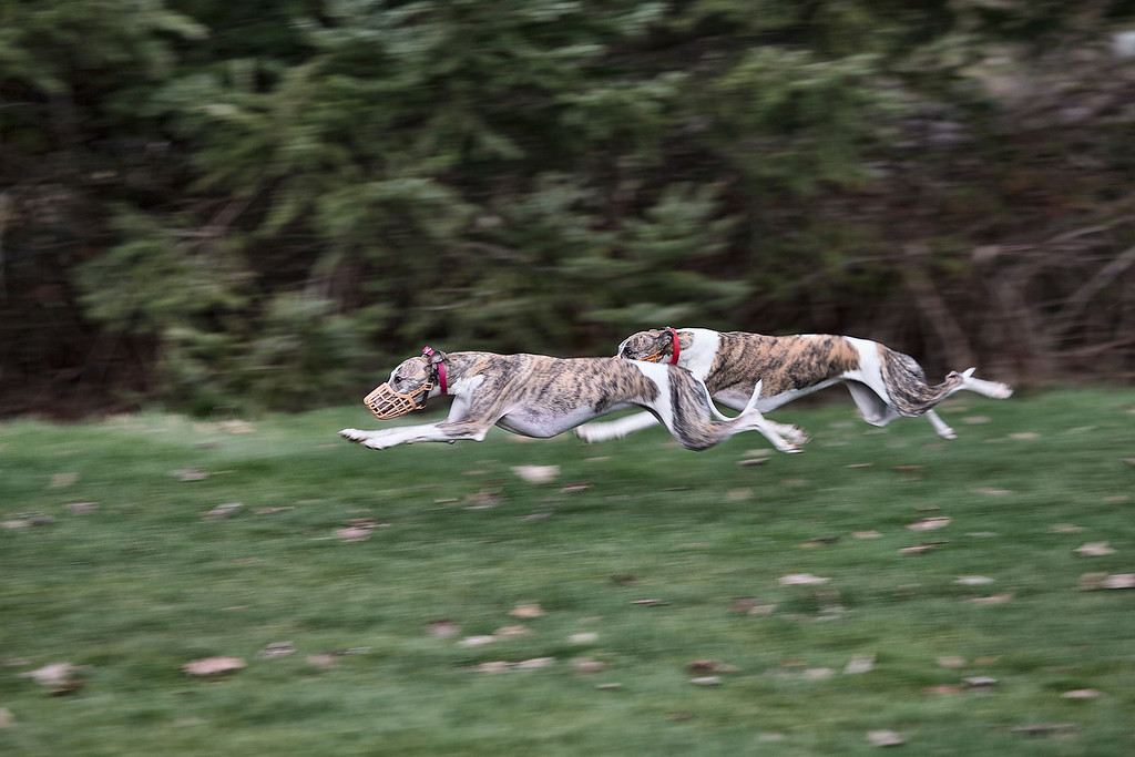 Whippets_02P7307-4800