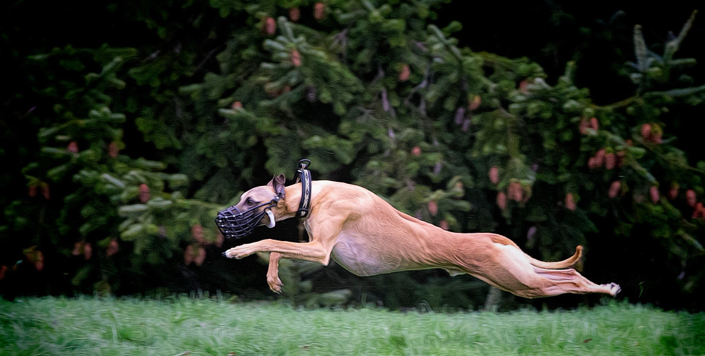 This is Winston, a Male Whippet, full out in a practice race at a recent BCWRC race day. I was taken by the strength and physical beauty of this animal, and decided to enhance the image in post processing by bringing out Winston's musculature, and sinew in this perfect position. This does have the effect of giving him a bit harder look than normal, but for me it works just fine. To enhance his colour and make him stand out, I darkened the background and vignetted the scene to bring Winston to prominence in the image.
