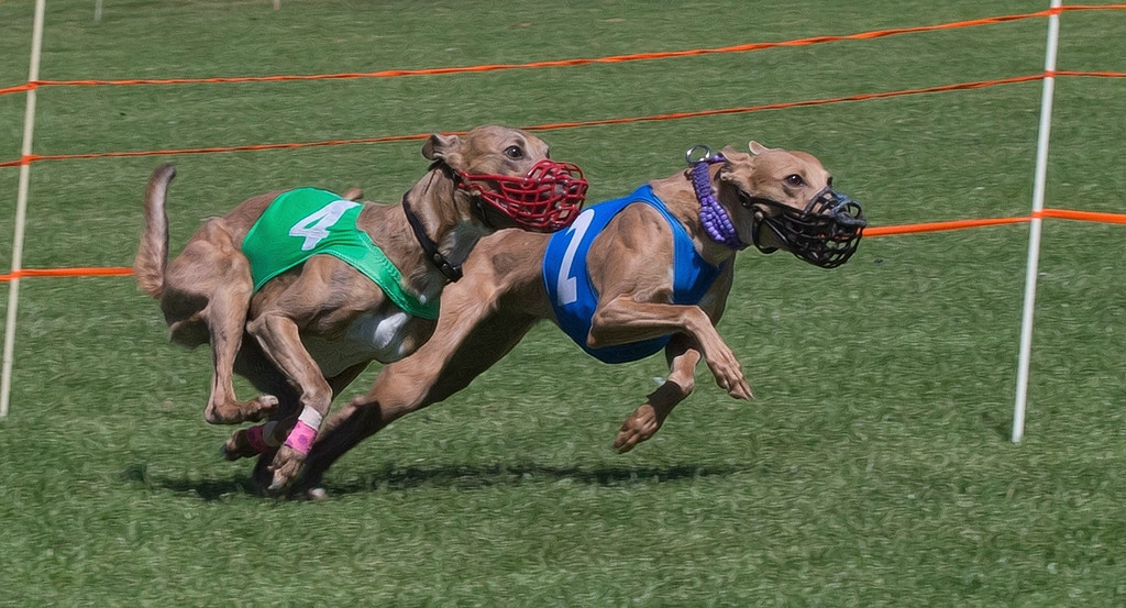 Two determined Whippets race for the lure during the June 7th, 2015 Racing event in Langley. # 2 is Lush (registered name Trixie) a young female at her first race.