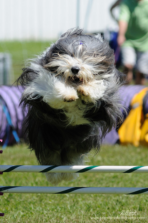 IMAGE: http://www.juliewardphotography.com/Dogs/Dog-Shows/Agility-trial-Canby-6-5-10/i-JQdsbTq/1/XL/128-XL.jpg