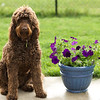 Bruno (Goldendoodle) 3 years old