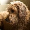 Goldendoodle just bathed