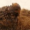 Goldendoodle 10/2007