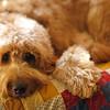 Goldendoodle
