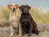 Mammals, dogs,  Labrador retriever
