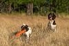 Mammals, dogs, Springer spaniel