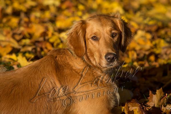 Mammals, dogs, golden retriever,