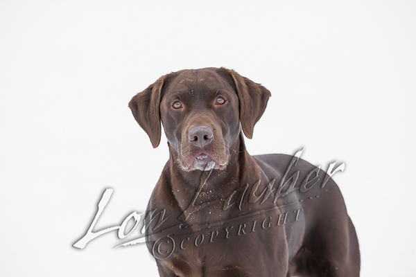 Mammals, dogs, chocolate lab, Hoss